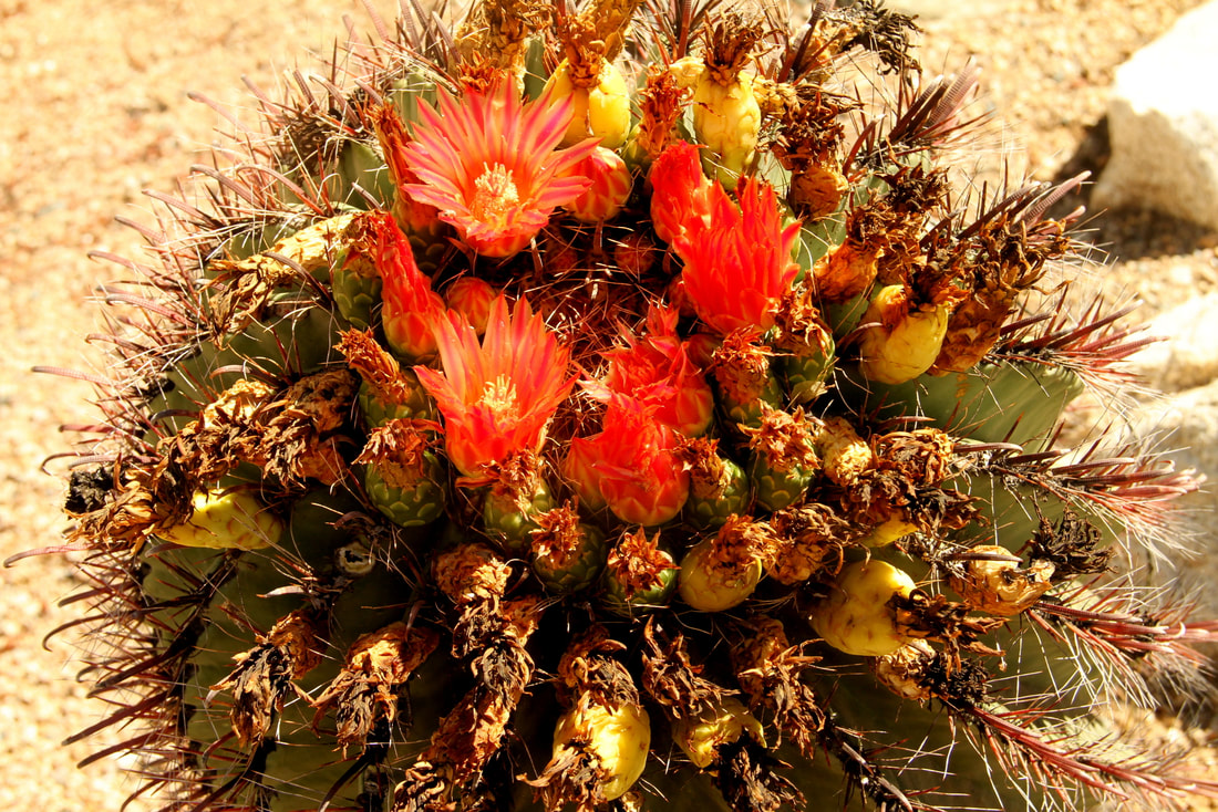 Fishhook Barrel Cactus, Phoenix, Arizona